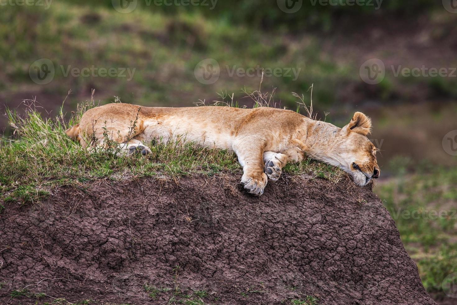 Lionne reposante sur un rocher dans les broussailles vertes photo