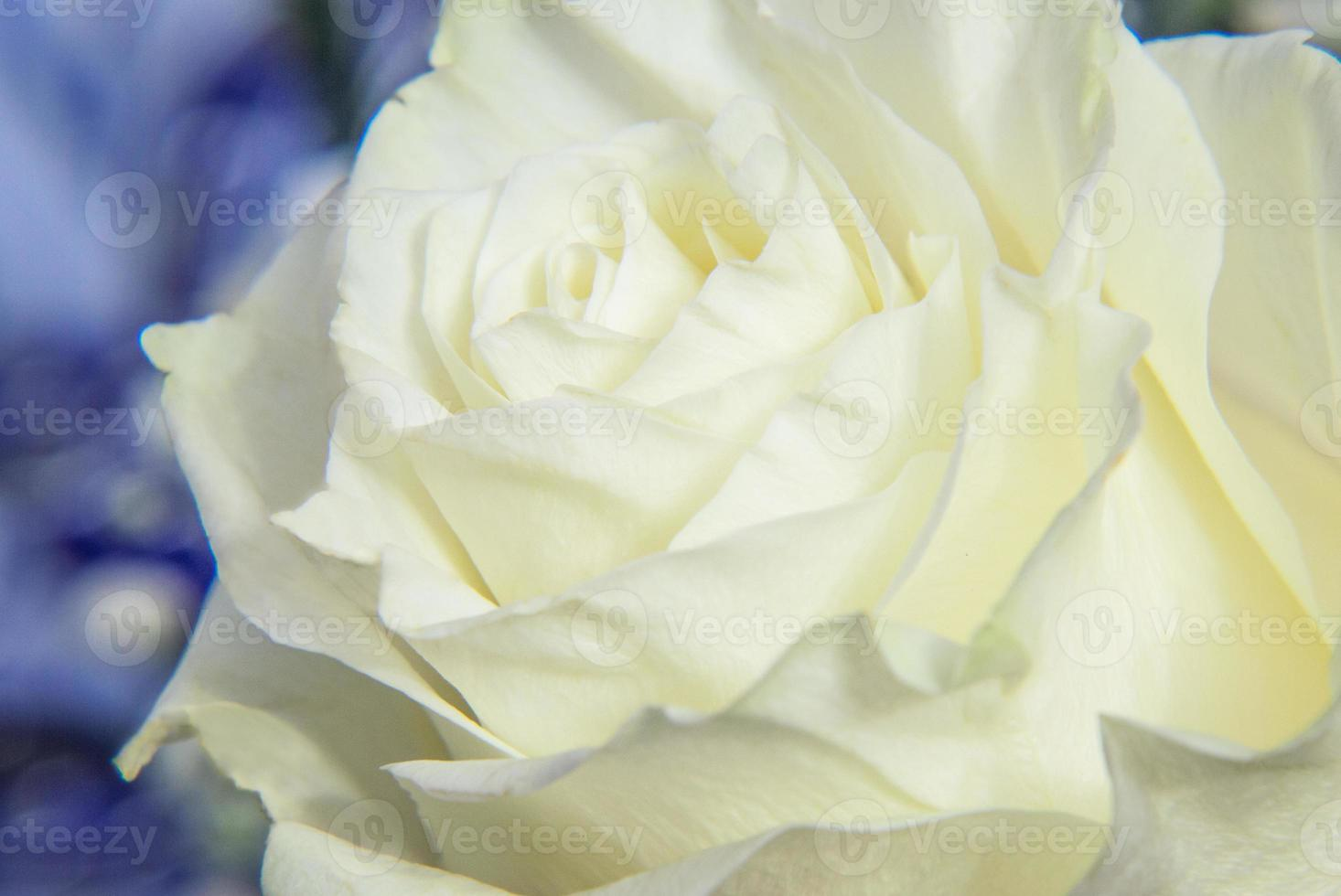 rose blanche gros plan photo
