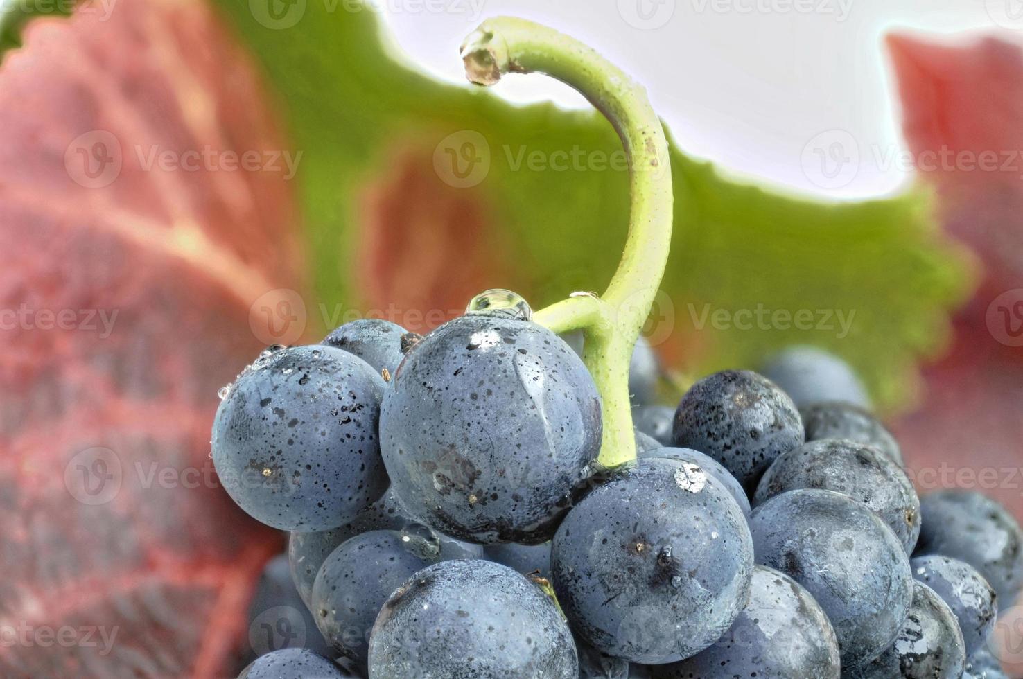 gros plan de raisins bleus photo
