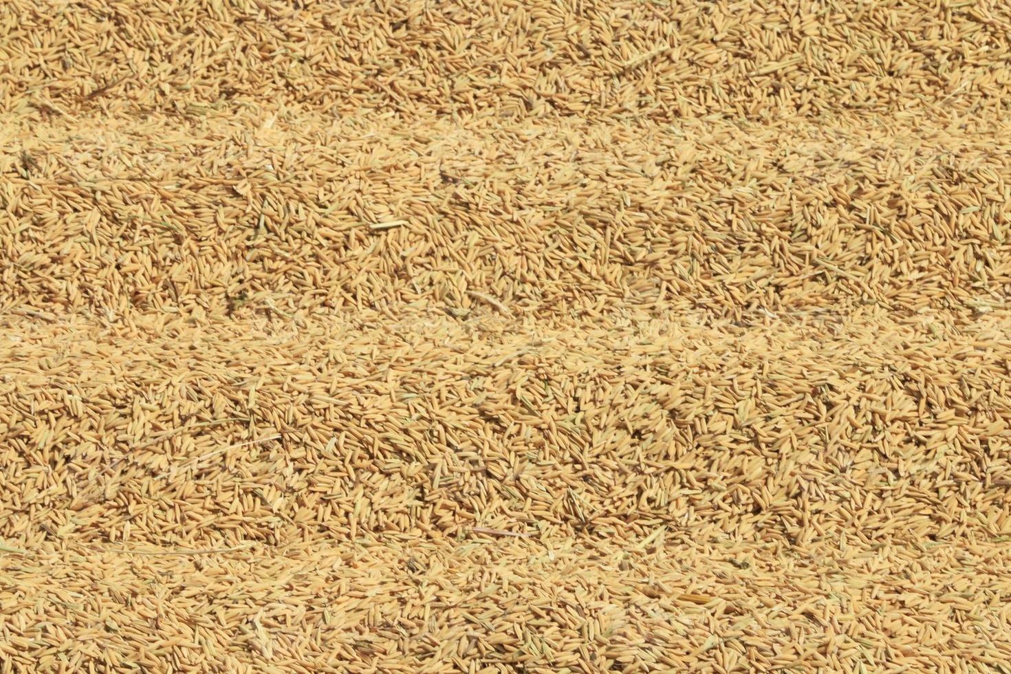 bouchent le riz paddy. photo