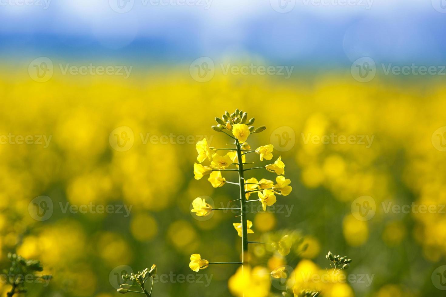 plante de colza photo