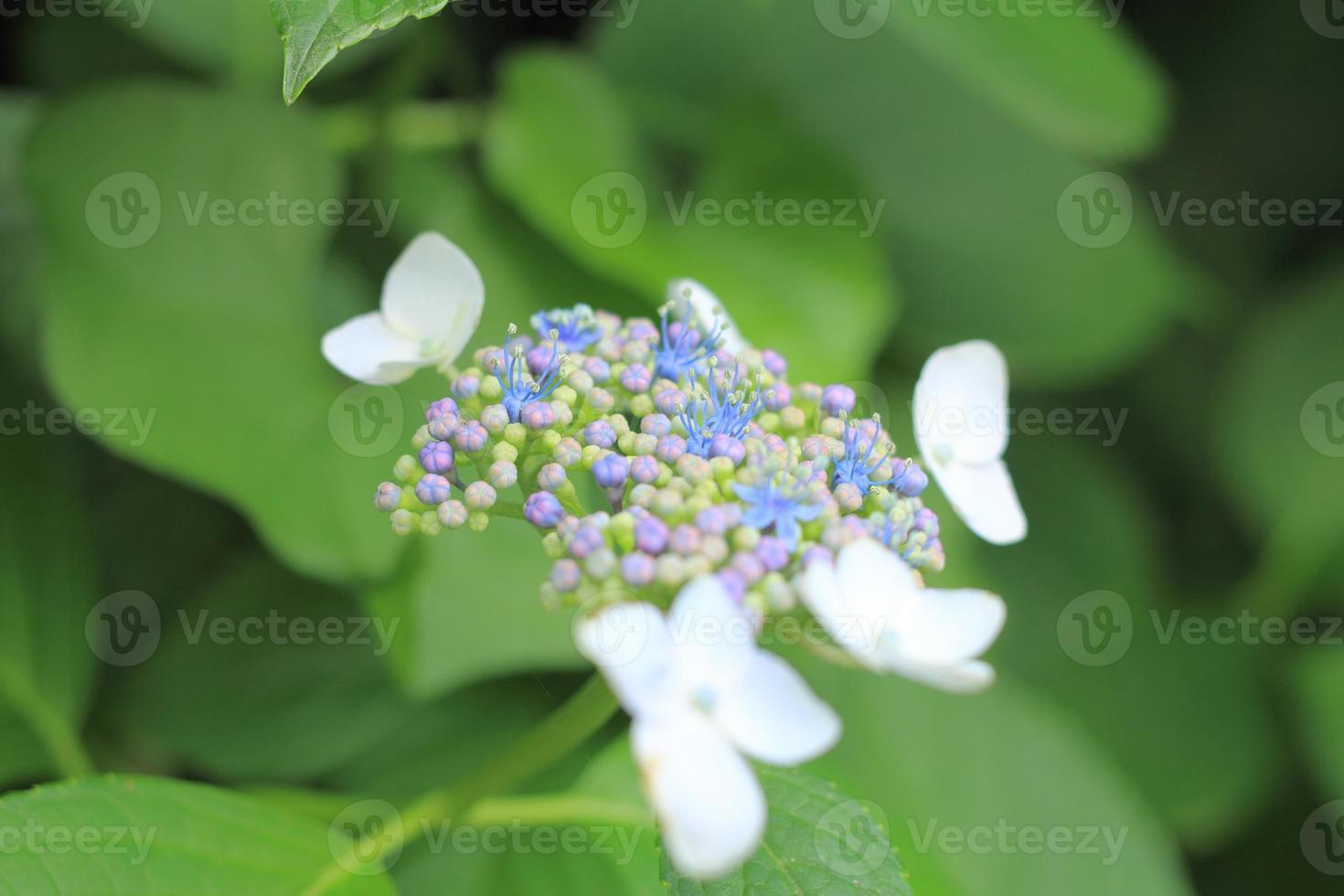 fleur d'hortensia bouchent photo
