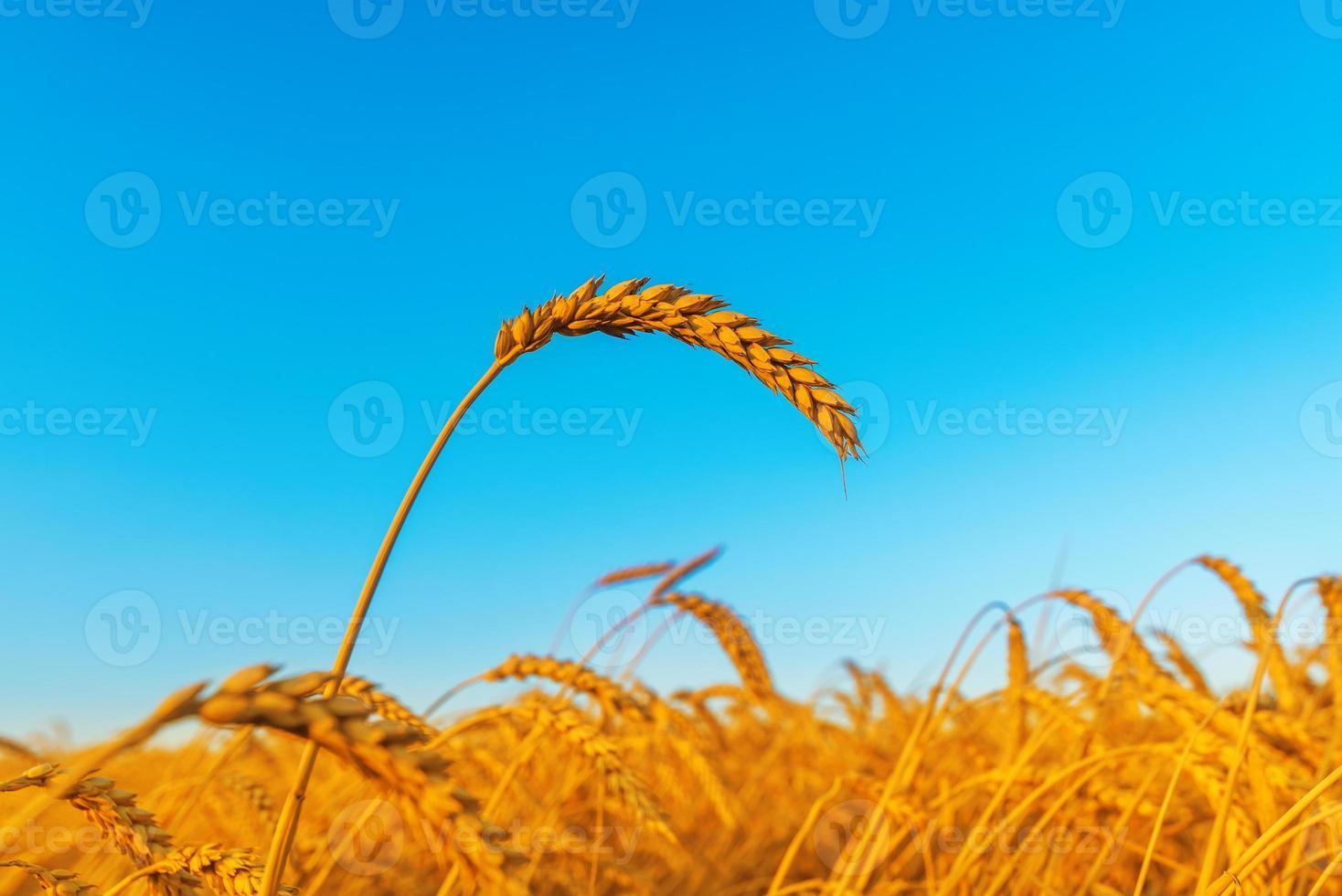 épi de blé sur le terrain, l'heure du coucher du soleil photo