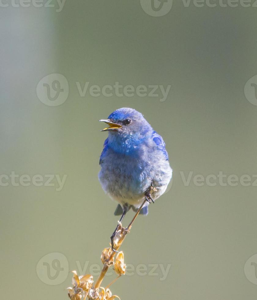oiseau bleu mâle gazouillant photo