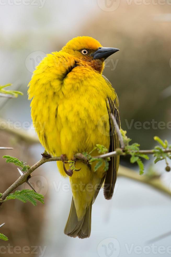 oiseau cape tisserand mâle photo