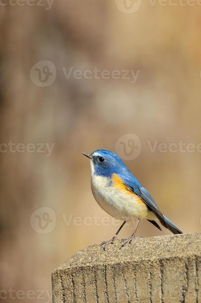 mâle bleu à flancs rouges photo