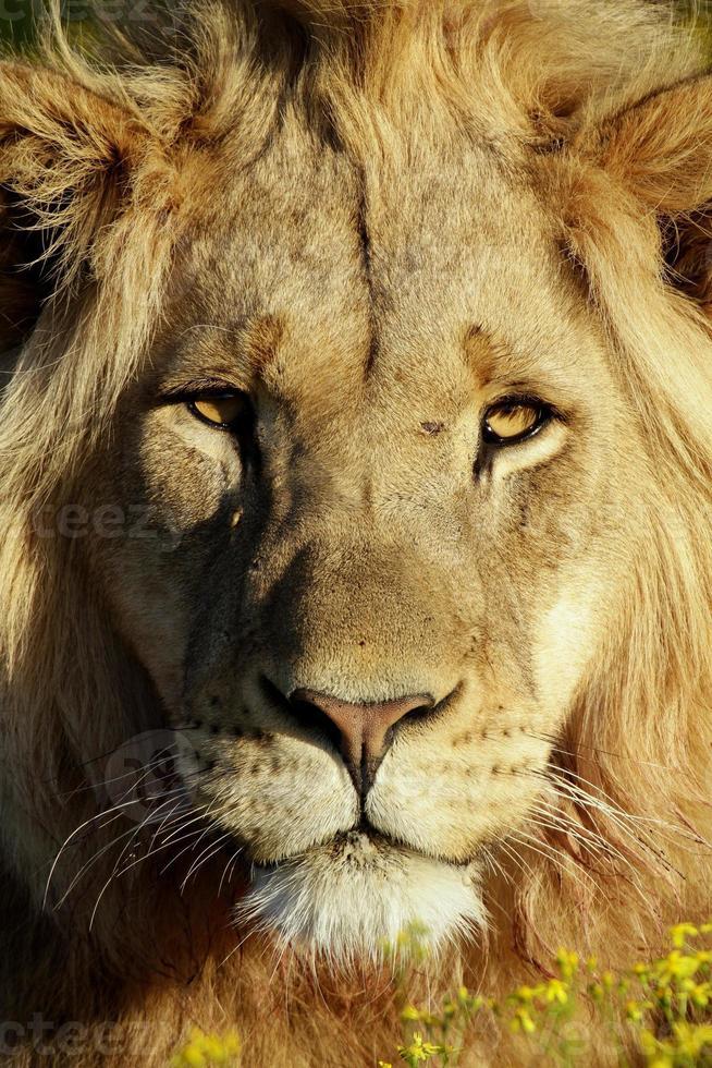 lion mâle dans la lumière dorée photo