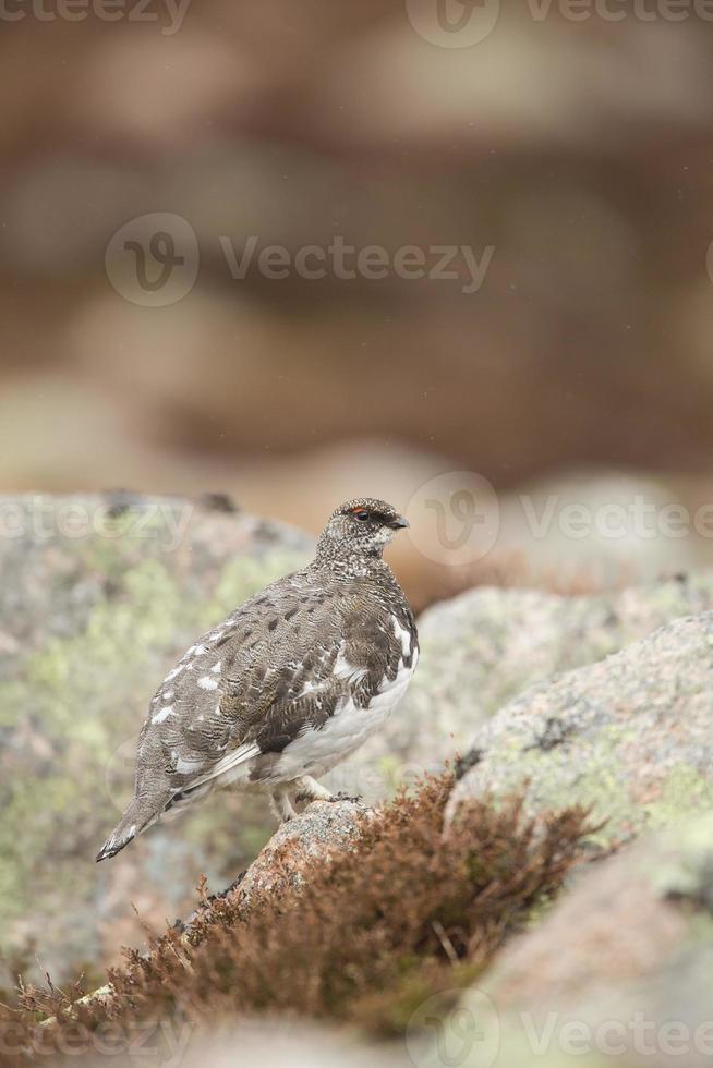 lagopède mâle parmi les rochers photo
