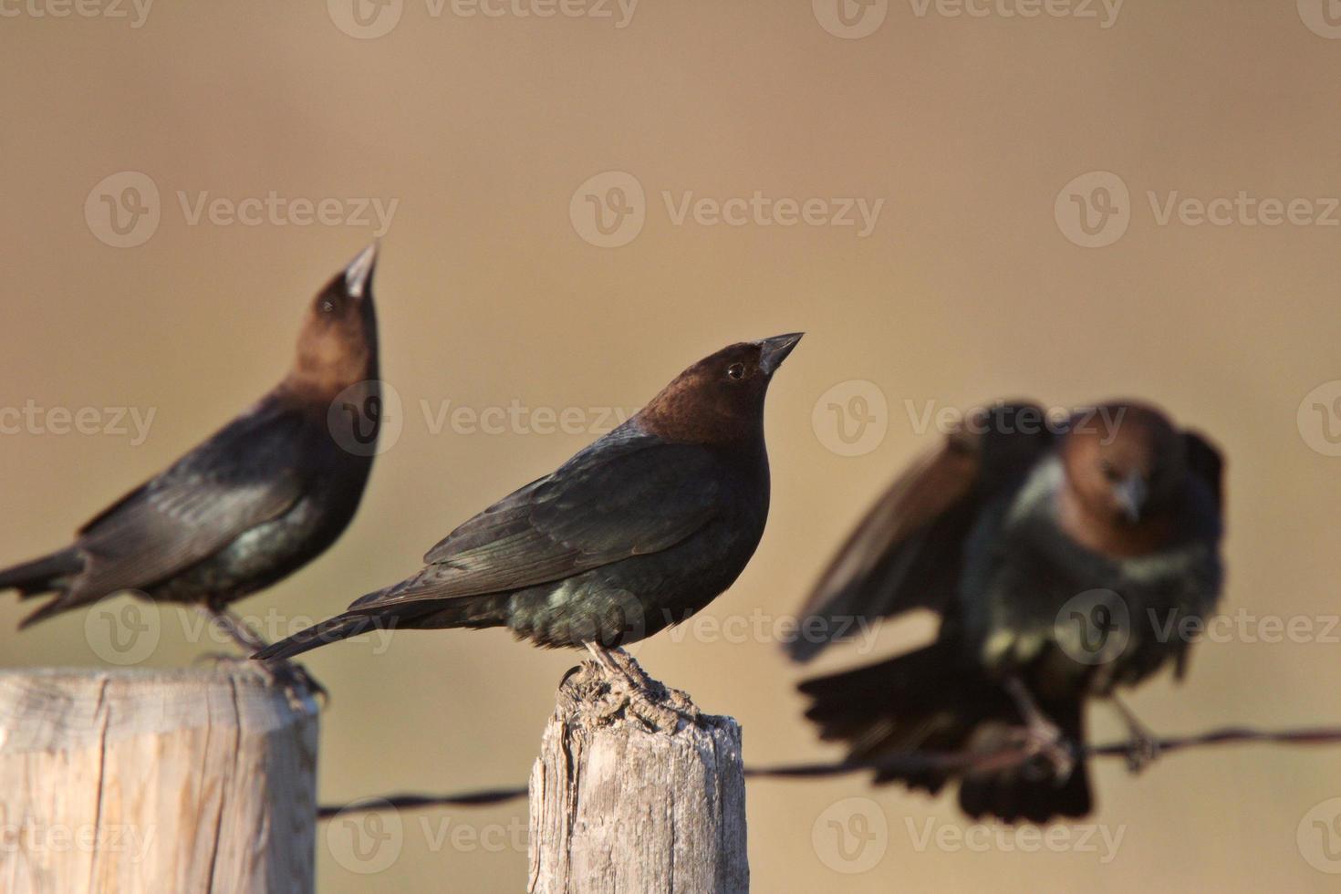 Cowbirds à tête brune mâle rassemblement photo