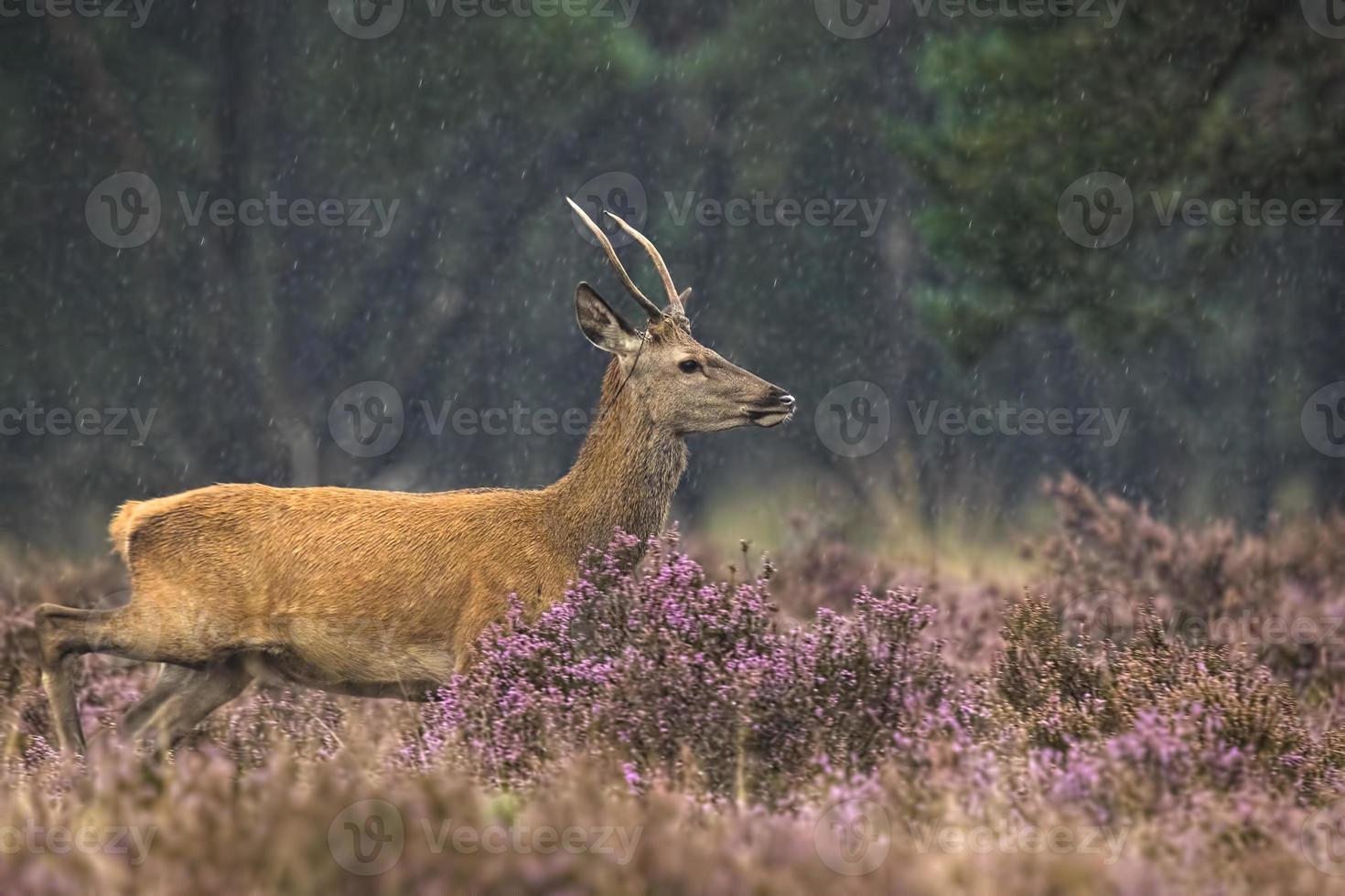 jeune cerf élaphe mâle en rut photo