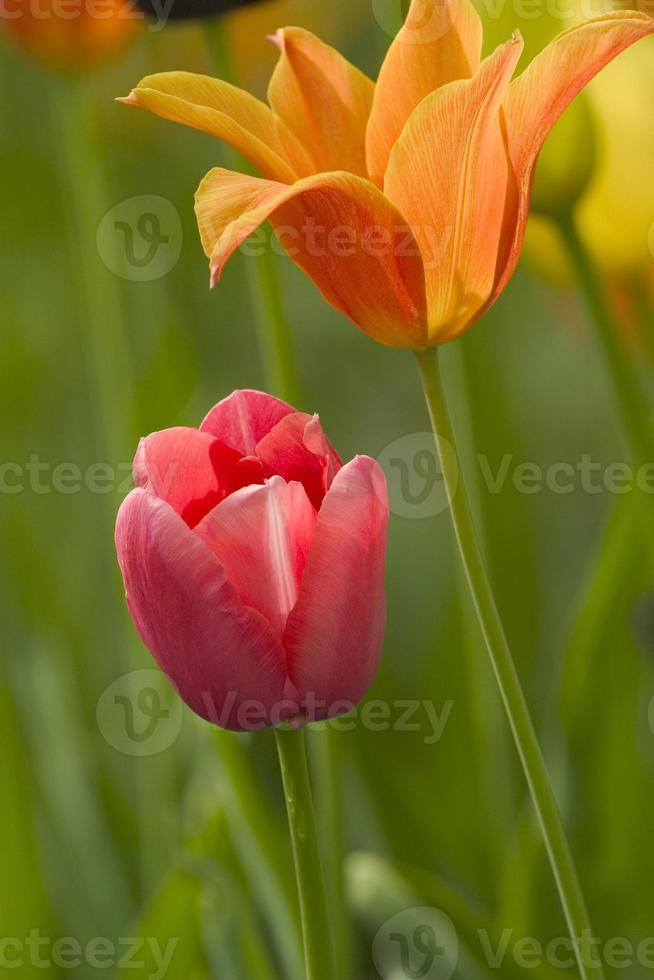 tulipan photo