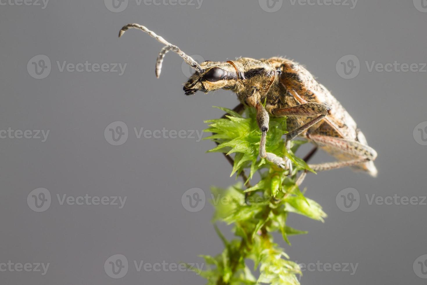 la pince à points noirs supporte le scarabée (rhagium mordax) photo