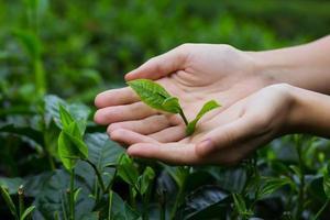 feuilles de thé fraîches dans les mains photo