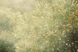 cèdre de sanbu-sugi photo