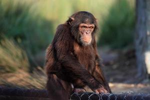 chimpanzé photo