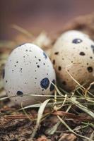 œuf de caille photo