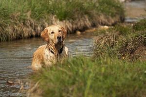 chien concentré est debout dans un ruisseau de montagne photo