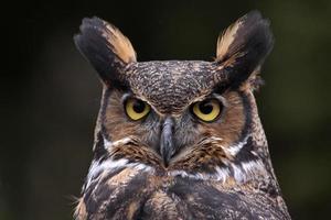 visage de hibou tigre photo