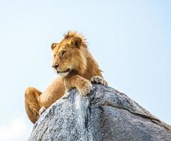 lion sur le rocher photo