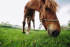 cheval paissant dans le pré