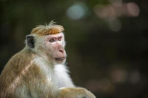 singe macaque photo