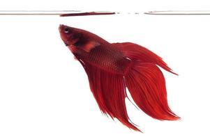poisson de combat rouge