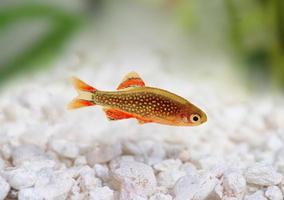 galaxie rasbora danio margaritatus, poisson d'aquarium d'eau douce danio perle photo