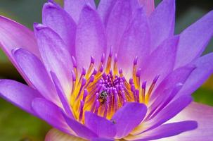 fermer l'abeille sur la fleur de lotus violette.