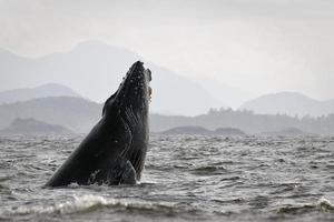 baleine à bosse (megaptera novaeangliae) photo