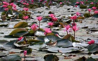 fleurs de nénuphar rose nature.