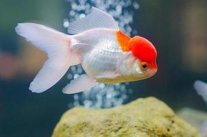 poisson rouge photo