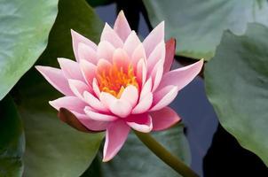 Gros plan de fleur de lotus rose
