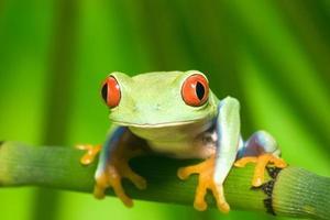 grenouille aux yeux rouges photo