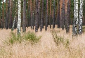 forêt de pins photo