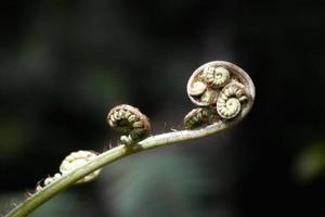 bourgeons velus sur une tige photo