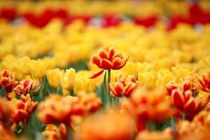 tulipe photo