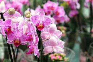 orchidea con striature fucsia photo
