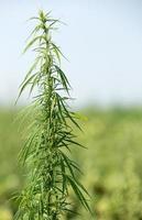 tige de marijuana en plein air sur le terrain
