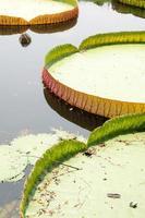 fond de feuilles de lotus photo