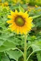 «Tache solaire», tournesol en été