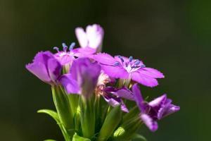 fleur de dianthus japonicus, caryophyllaceae, japon photo