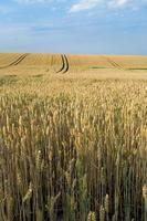 champ de blé doré en été photo