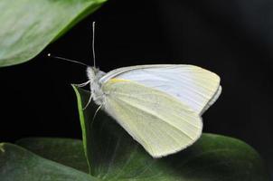 le papillon photo