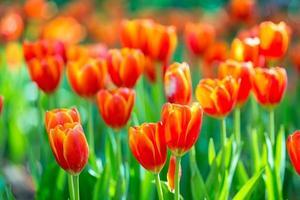 tulipes en fleurs dans un grand champ. photo
