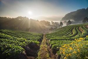 Lever du soleil du matin dans le champ de fraises, Chiang Mai Thaïlande
