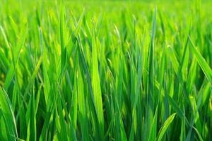 herbe verte floue avec des gouttelettes d'eau au soleil photo