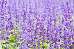 détail de la floraison des plantes de bruyère dans le jardin.