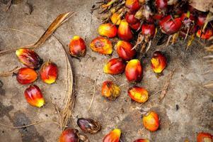 fruits de palmier à huile frais
