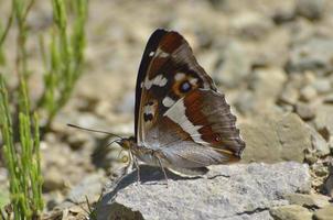 aglais iris (empereur violet) papillon photo