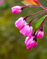bégonia, fleurs caractéristiques chinoises photo